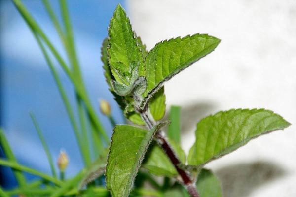 Máta, bylinka pro zdravé trávení