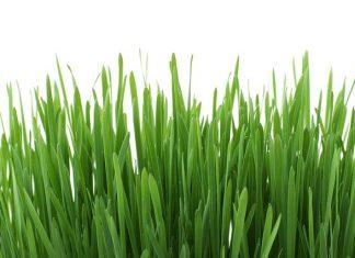 Jarní očista - zelený ječmen