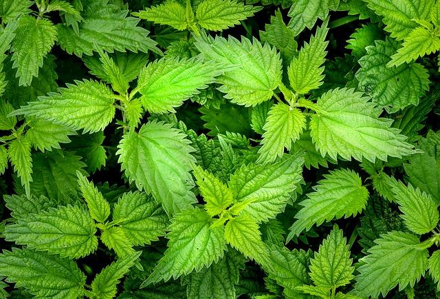 Kopřiva - zelená bylinka pro jarní očistu