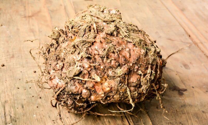 Kořen rostliny konjak, ze kterého se vyrábějí konjakové těstoviny.