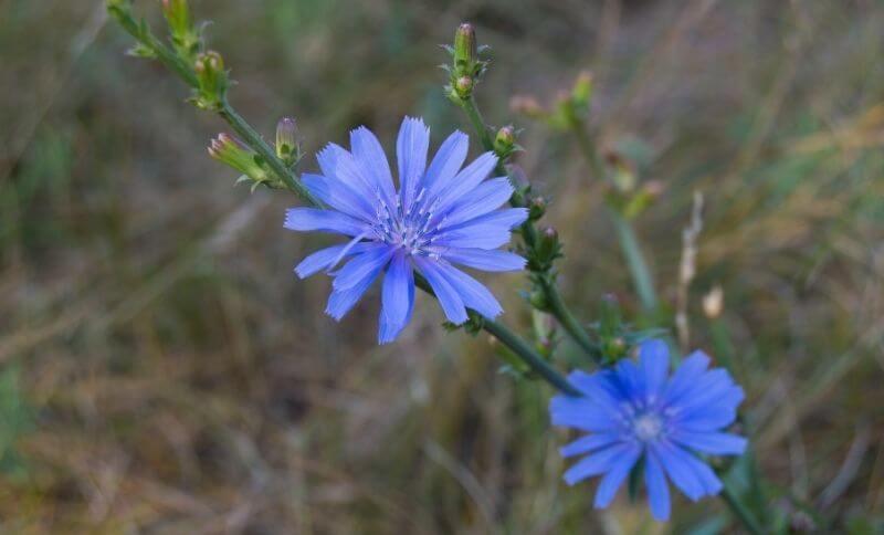 Čekanka obecná je typická výraznými modrými květy